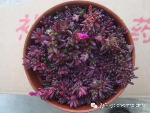 紅彤彤的紫米粒 - 每日頭條