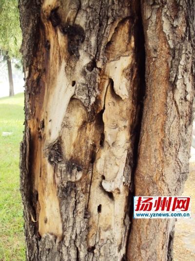 多處柳樹遭遇「蟲蛀危機」 最猖狂的是雲斑天牛 - 每日頭條