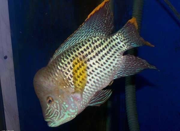 觀賞魚的種類有哪些? - 每日頭條