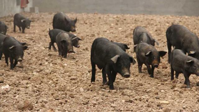 時馬山黑豬——真正的散養保證百分百綠色無公害 - 每日頭條