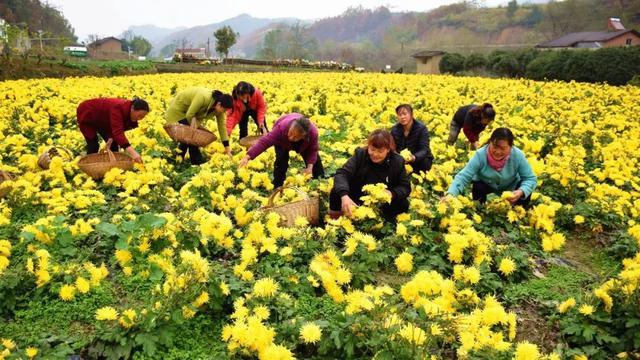 897發展|安康這個地方百畝金絲皇菊喜獲豐收 - 每日頭條