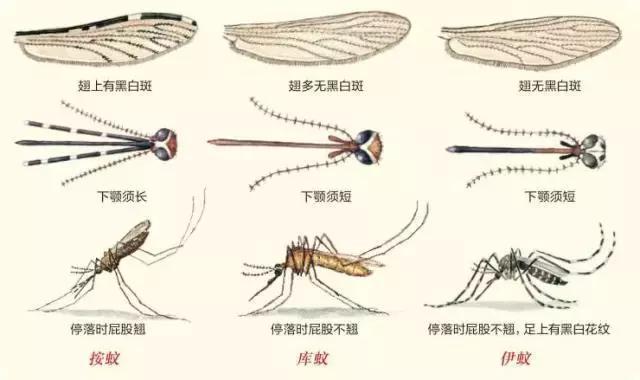 AEN-可惡的蚊子複雜的口器 - 每日頭條