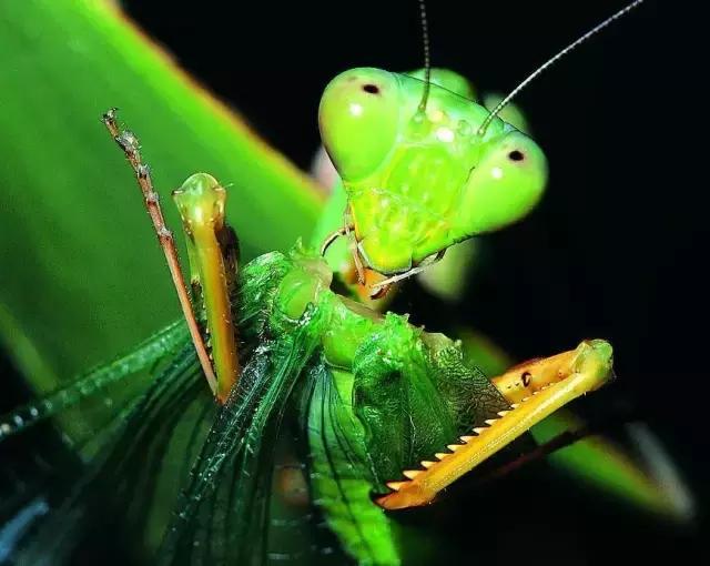 你知道為什麼螳螂的英文名叫「祈禱的修女」嗎? - 每日頭條