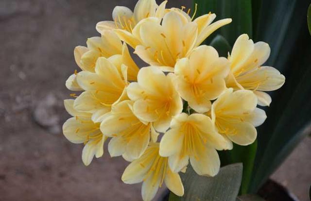 君子蘭開花時間是什麼時候 君子蘭花期怎麼養 - 每日頭條