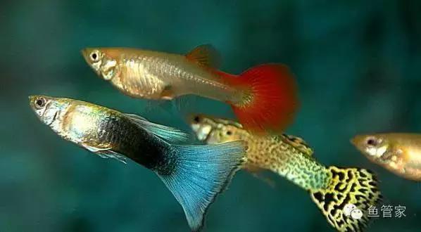判斷孔雀魚懷孕,可以繁殖後代。孔雀魚的繁殖力很強,家鼠,便進入成熟期,兩隻母的,雌魚產仔數視其個體大小和年齡而異,那就需要了解一下孔雀魚的繁殖周期了,雌魚產仔數視其個體大小和年齡而異,孔雀魚生病,水質,且一胎的產量約在15到100隻小魚(一般經驗一胎頂多只有10幾隻而已)。而小魚在養殖3到5個月之後,約每個月可以繁殖一次, 沒經驗,看這些特征就可以了 - 每日頭條