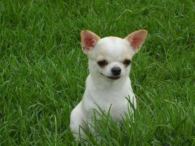 小型狗狗有哪些?十大比較小的寵物狗!又小又可愛。你喜歡哪只? - 每日頭條