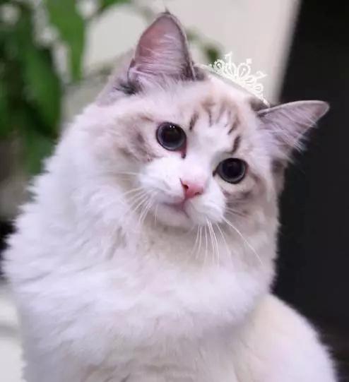 作為想養布偶貓的超級貓奴。這些事兒是你火急想知道的! - 每日頭條