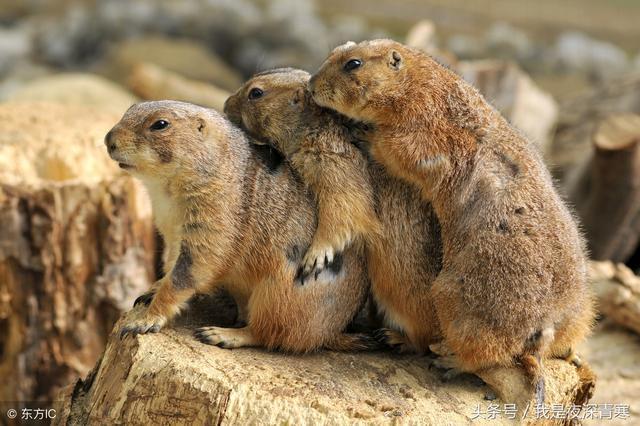 在民間傳說中。黃鼠狼和狐貍齊名。有「北黃鼠。南狐仙」的說法 - 每日頭條