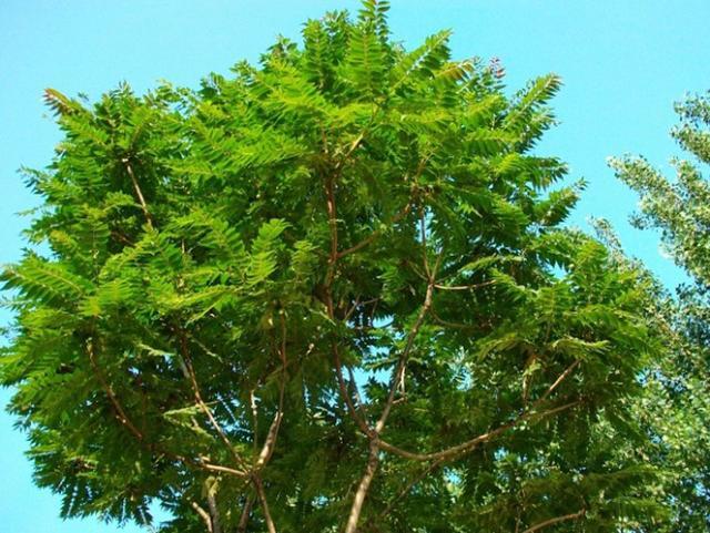 「前不栽桑。後不栽柳」。但農村門前可以栽這幾種樹。都有好作用 - 每日頭條