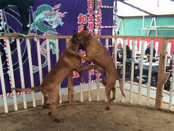 東方鬥犬之王——戰鬥力堪比藏獒的日本土佐犬 - 每日頭條