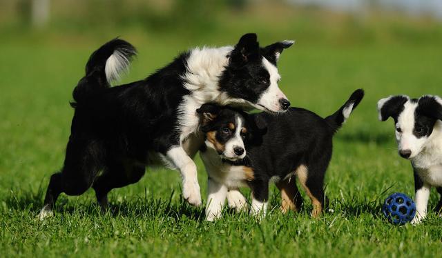 狗的智商也排行,最聰明的幾種狗 - 每日頭條