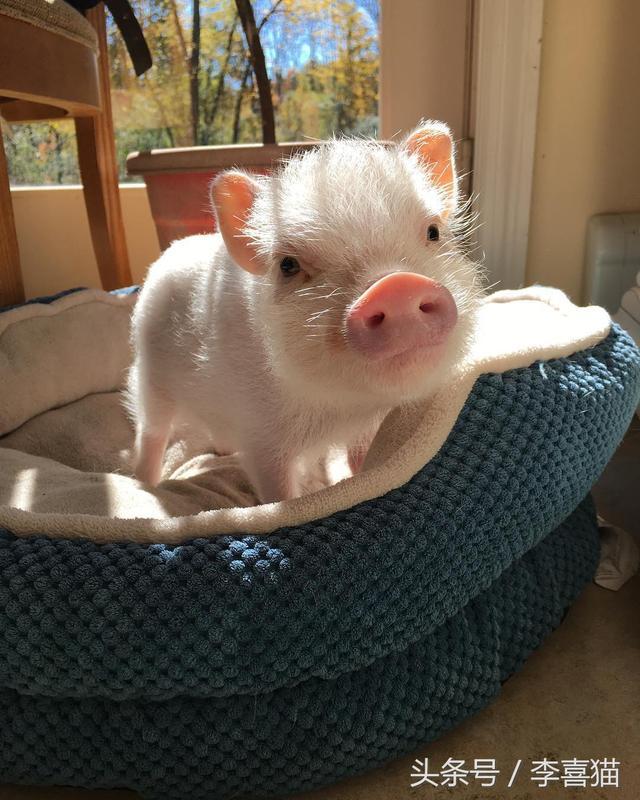 寵物豬看上去憨態可掬還愛賣萌,但是飼養之前一定要做好心理準備 - 每日頭條