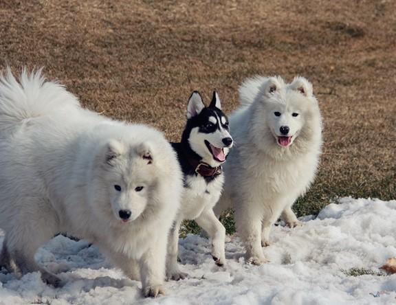 每日一寵 阿拉斯加雪橇犬 - 每日頭條