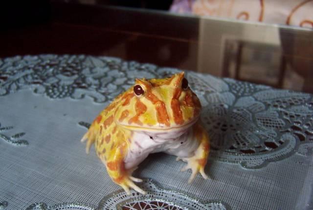 漲知識|黃金角蛙飼養小技巧 - 每日頭條