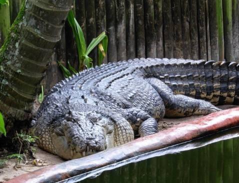 8旬老伯養巨鱷幾十年,每天鱷魚都想要吃了他 - 每日頭條