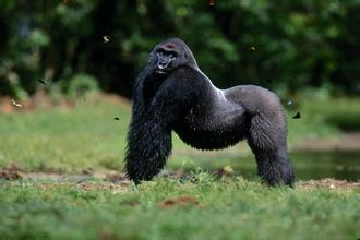 金剛猩猩:是現存最大的靈長類動物! - 每日頭條