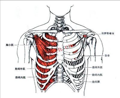 運動解剖:人體不可緊張的肌肉 - 每日頭條