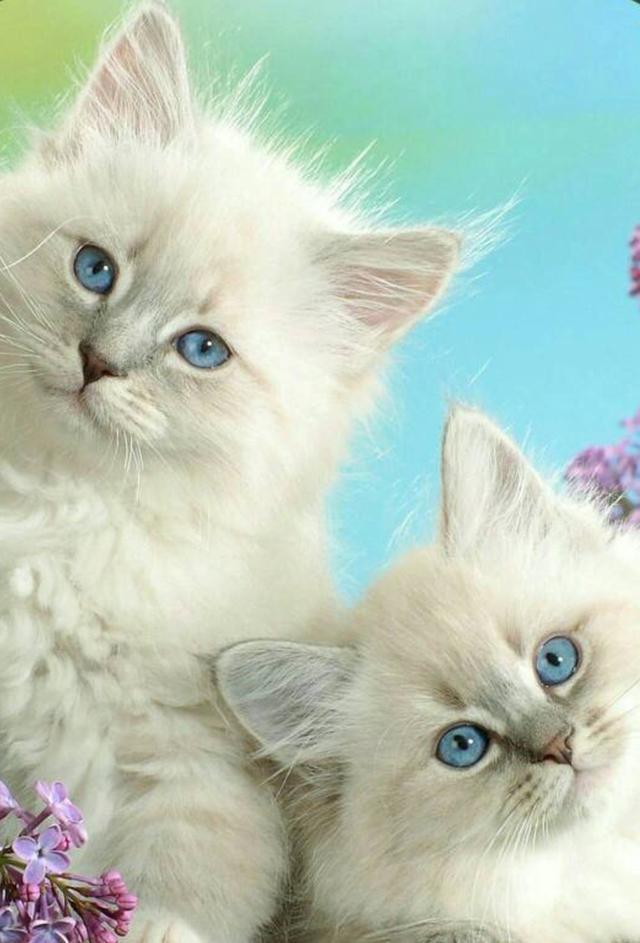 教你選貓系列。貓咪品種介紹及品相判斷(6)——波斯貓 - 每日頭條