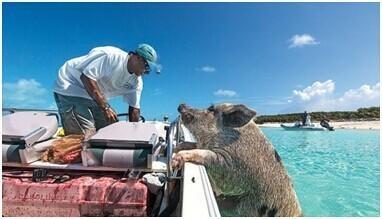 巴哈馬有一個豬島。上面有一群被水手遺棄的豬…… - 每日頭條