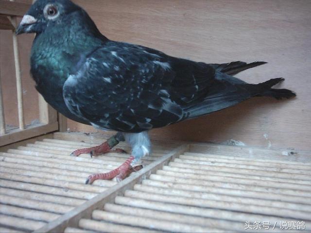 什麼樣的鴿子最適合育種? - 每日頭條