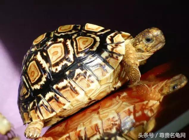 龜類排行榜 哪個適合你 - 每日頭條