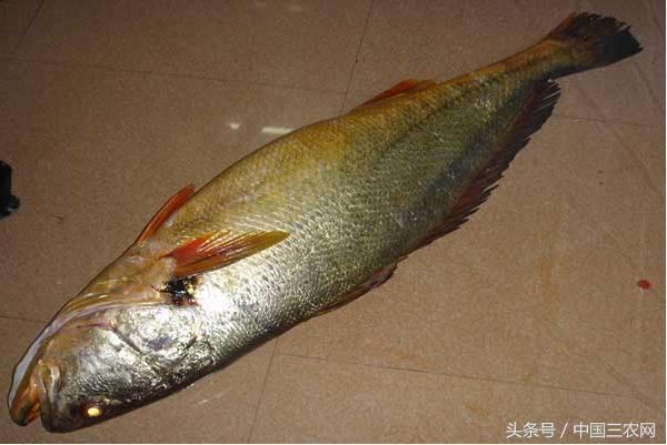 漁民捕獲147斤野生黃唇魚一夜暴富 這種魚為什麼那麼值錢? - 每日頭條