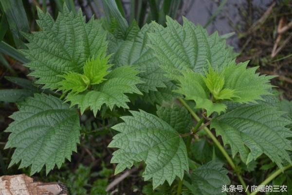 農村常見的「咬人草」,也叫植物貓,是治療風濕性關節炎的良藥 - 每日頭條