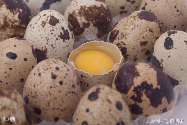 鵪鶉蛋。膽固醇比雞蛋多? - 每日頭條