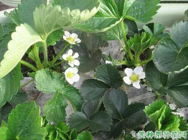草莓開花時要不要施肥?草莓開花時用啥肥效果好? - 每日頭條