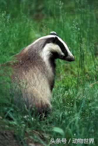 動物世界-狗獾 - 每日頭條