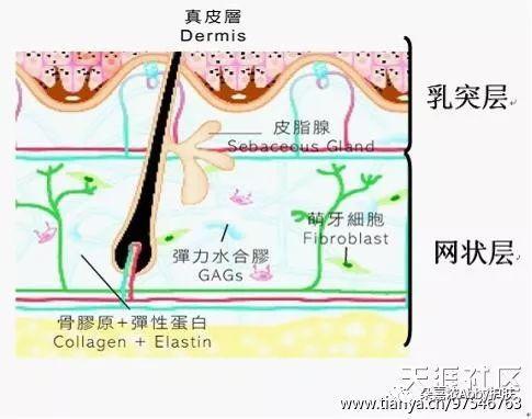 乳頭層與網狀層 - 每日頭條