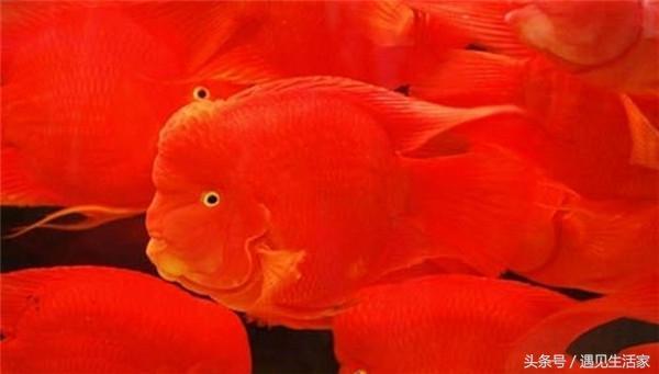 鸚鵡魚品鑑之財神魚。首富馬雲也在養。招財又靚麗! - 每日頭條