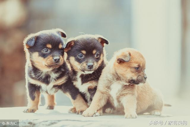 世界上最忠誠的四種狗。中華田園犬高居排名! - 每日頭條