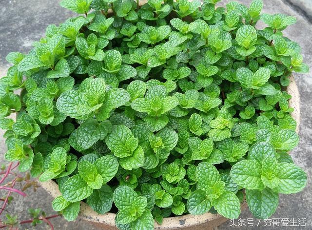 要想身體好。平時要吃草。這幾種野草有消炎解毒、清涼利尿的作用 - 每日頭條