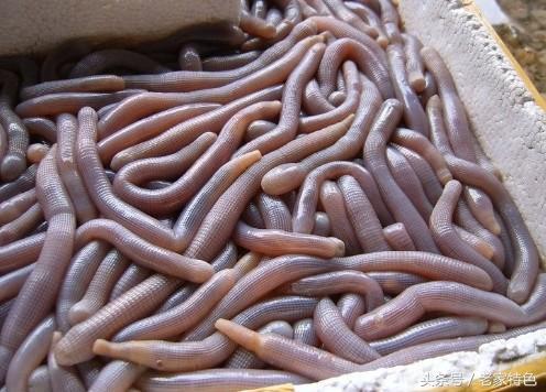 沙蟲乾的功效與作用 沙蟲干怎麼做好吃 - 每日頭條