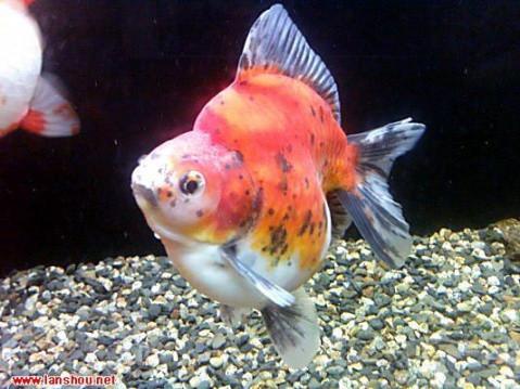 中國金魚品種圖解大全〔下〕 - 每日頭條
