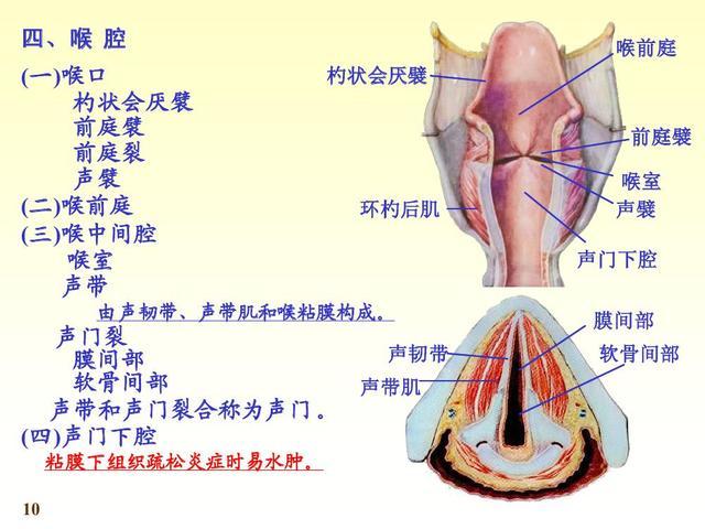 《人體解剖學》喉嚨 - 每日頭條