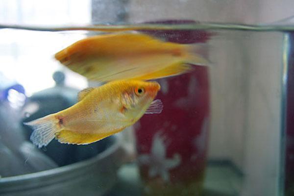 小型熱帶觀賞魚《曼龍魚》養殖大全 - 每日頭條