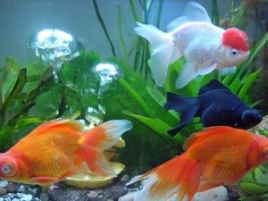 紅色金魚不能養。養魚不能養單數!這些說法對嗎? - 每日頭條