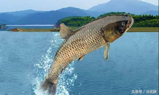 野生魚跟養殖魚有什麼區別?買魚的時候怎樣分辨才不會被騙? - 每日頭條