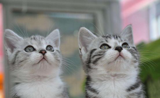 常聽到的藍貓,加菲到底到底都是什麼貓?「科瑞卡科普」 - 每日頭條