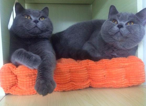 貓星人英短:你知道嗎?除了「藍胖子」還有五顏六色的「胖子」! - 每日頭條