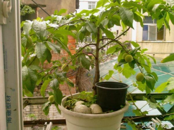 桃樹,最容易盆栽種植並結果的果樹之一,既可觀賞又能吃桃子 - 每日頭條