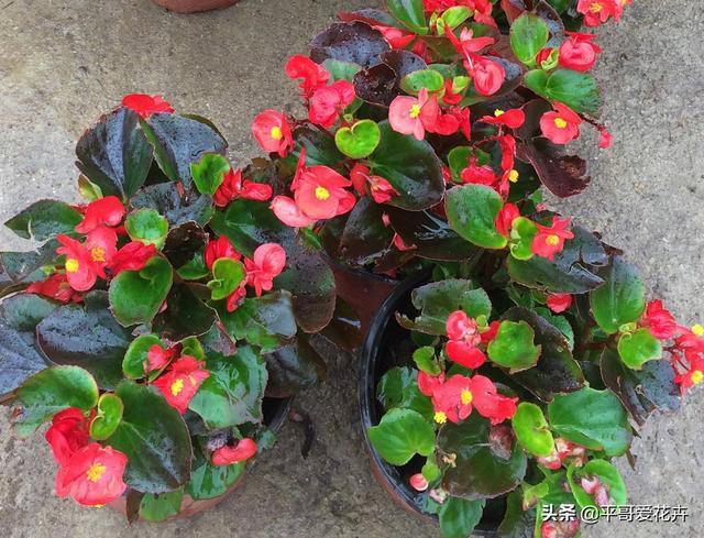 這4種花「隨便養」,一年開花300多天,陽臺變「花海」,輕鬆爆盆 - 每日頭條