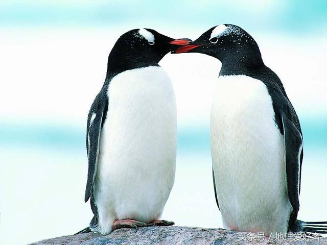 只有南極有企鵝嗎?北極為什麼沒有企鵝? - 每日頭條