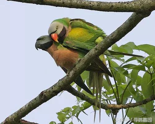 這你都不知道?生活在國內的七種鸚鵡 - 每日頭條
