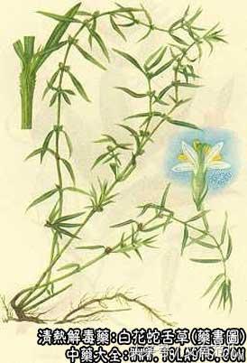 話說中藥材——白花蛇舌草的功效與作用 - 每日頭條