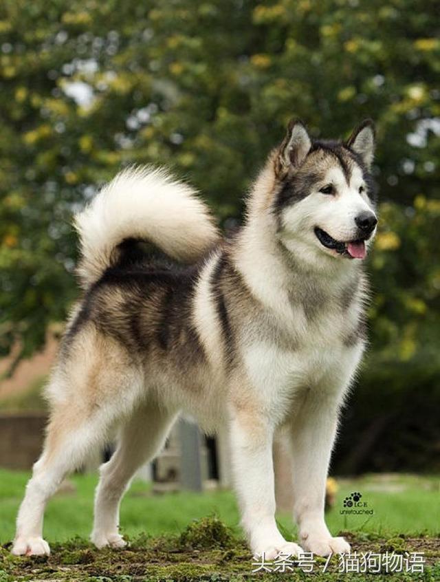 阿拉斯加雪橇犬與西伯利亞雪橇犬的「小同大異」 - 每日頭條