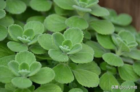 這種植物就叫還魂草,觸碰會產生令人舒適的香氣功效絕對嚇到你! - 每日頭條
