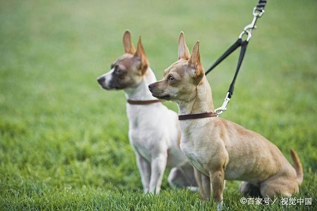 什麼狗最好養又便宜?十大便宜又好養的狗狗!你喜歡哪種狗狗? - 每日頭條
